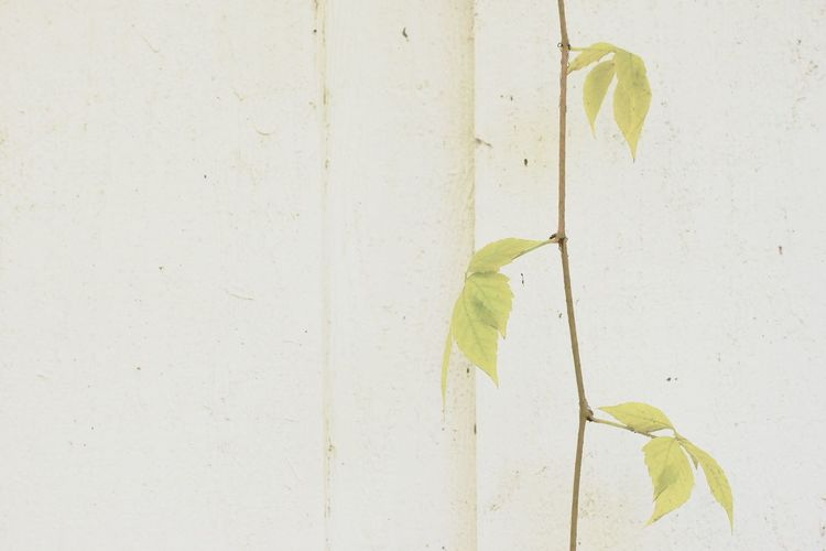 Delicate leaves Backgrounds Beauty Beauty In Nature Close-up Day Delicate Fragile Fragility Frail Garden Garden Photography Green Color Leaf Leaves Nature No People Outdoors Plant Shed Textured  Twine Wall Wall - Building Feature White