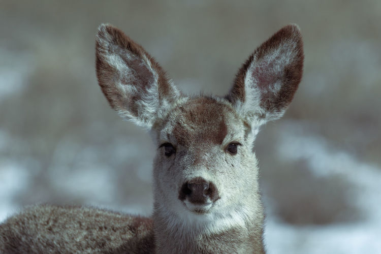 Adorable young female mule deer finds food on a sunny winter day near Denver, Colorado One Animal Portrait Mammal Looking At Camera Animals In The Wild Focus On Foreground Animal Body Part Vertebrate No People Animal Wildlife Close-up Nature Snow Day Deer Cold Temperature Animal Ear Herbivorous