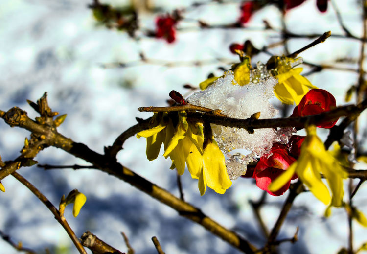 Early blooms Early Blooms Brave The Winter Snow ❄ Yellow And Red Flowers Beauty In Nature Branch Close-up Cold Temperature Day Flower Flower Head Focus On Foreground Fragility Freshness Growth Nature No People Outdoors Petal Tree Yellow