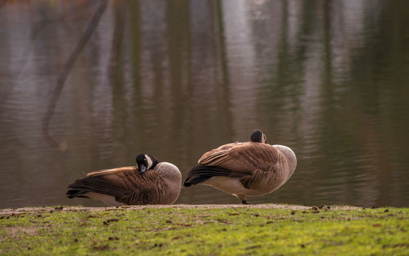 Canada geese resting on grass against lake
