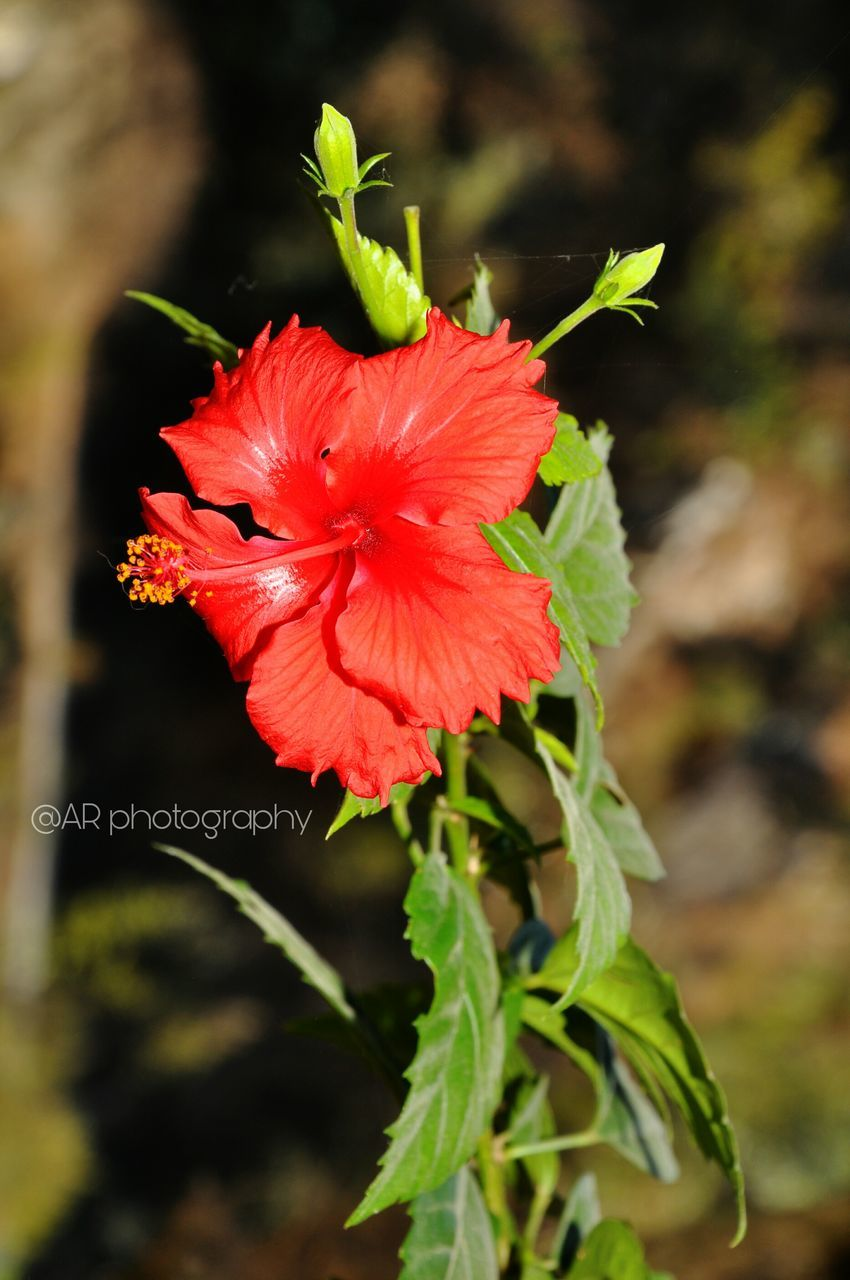 flower, plant, growth, red, petal, fragility, nature, beauty in nature, no people, flower head, freshness, hibiscus, focus on foreground, blooming, leaf, close-up, outdoors, poppy, day