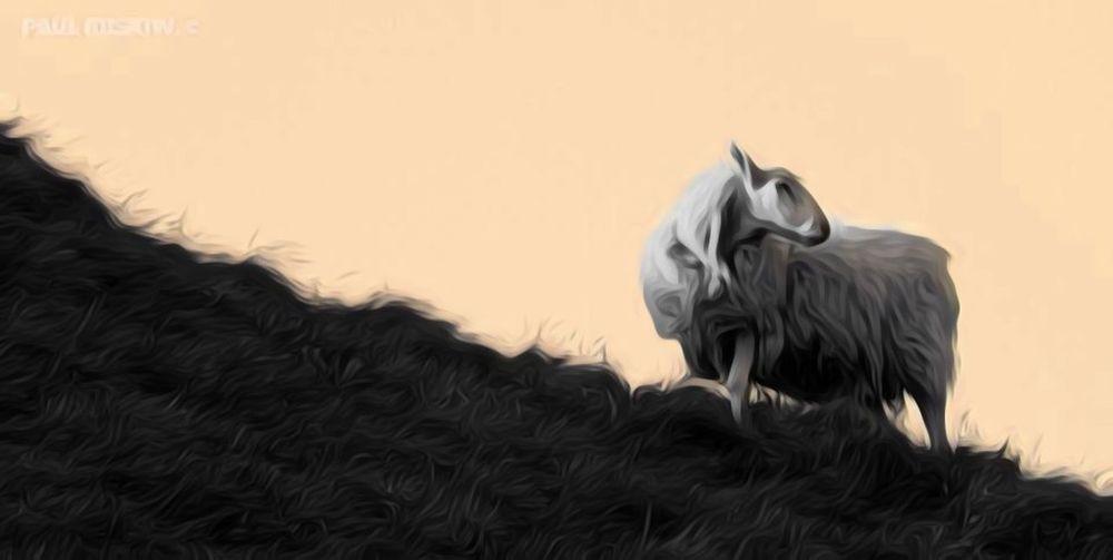 Single Sheep Sheep On A Hill Safari Animals Sunset Close-up