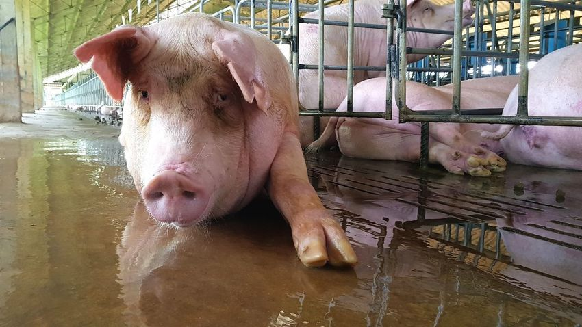 Pig model One Animal Animal Themes Mammal Domestic Animals Water No People Close-up Animal Galaxys8 Pig Farm Young Animal Livestock Agriculture Swine Lying Down