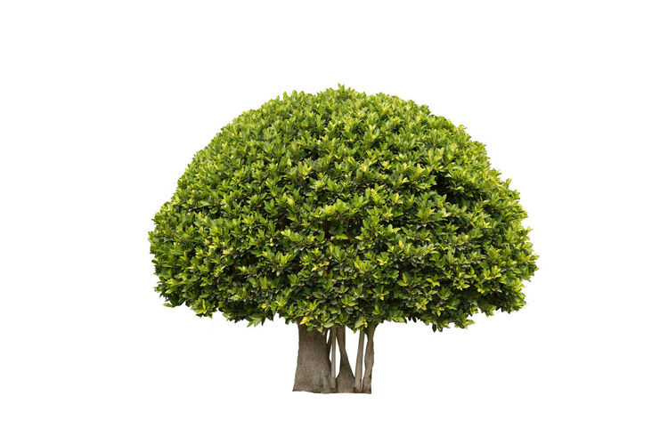 Tree for gardening Suitable for gardening and home parks. Cut Green Color Tree Cut Background Di-cut Outdoors Park Tree Garden White White Background