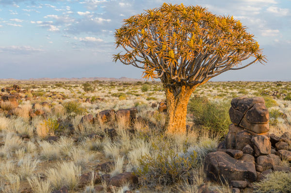 Quiver Tree Quivertree Forest Namibia Nature Landscape Africa African Tree Quivertree