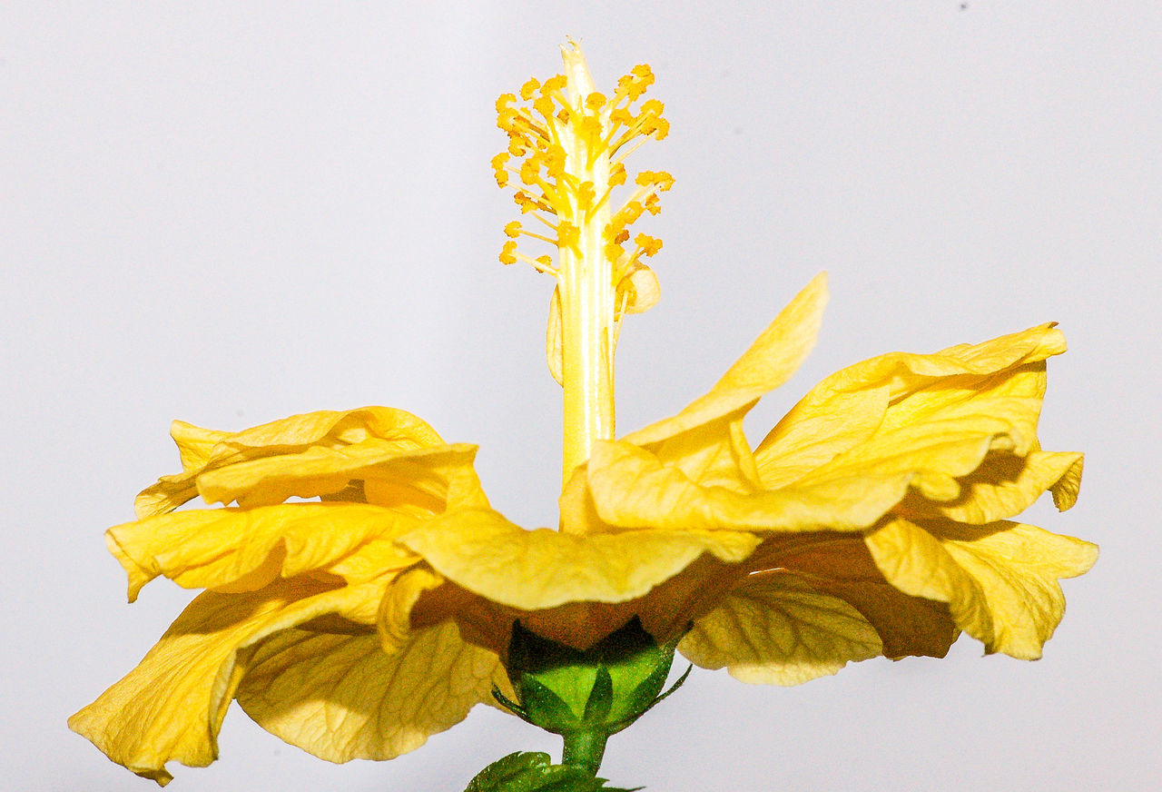 yellow, flower, flowering plant, studio shot, plant, white background, beauty in nature, close-up, petal, flower head, vulnerability, no people, freshness, fragility, nature, inflorescence, indoors, daffodil, plant part, cut out, wilted plant