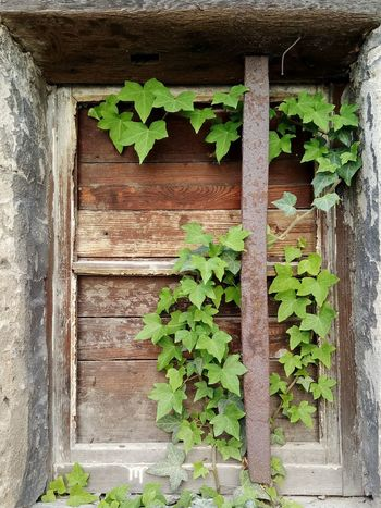 Window Wood - Material Ivy Leaf Creeper Plant Architecture Building Exterior Plant