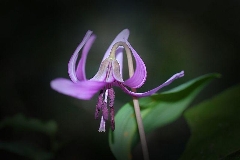 Spring Colours Macro Nature 山野草 Spring Time 春 Spring EyeEm Nature Lover Flowers Fleshyplants Macro Colors かたくり