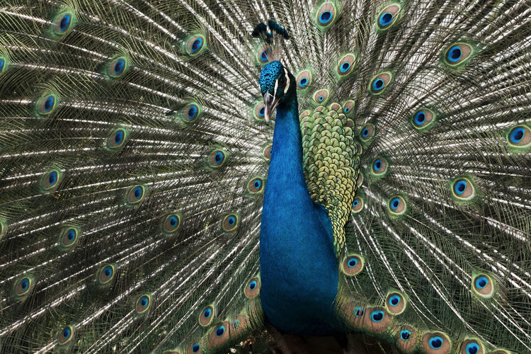 Beautiful peacock showing it feather Animal Themes Animal Wildlife Animals In The Wild Beautiful People Beauty Beauty In Nature Bird Blue Close-up Day Fanned Out Feather  Multi Colored Nature One Animal Outdoors Peacock Peacock Feather People Tail Vanity