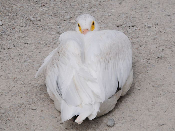 Pelican Bird White Color Animal Themes Animals In The Wild Nature One Animal No People Day Close-up Outdoors