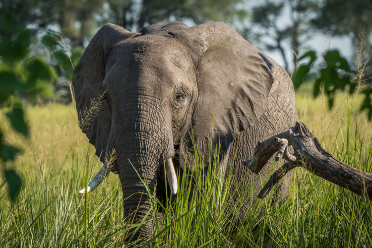 Close-up portrait of african elephant walking in forest