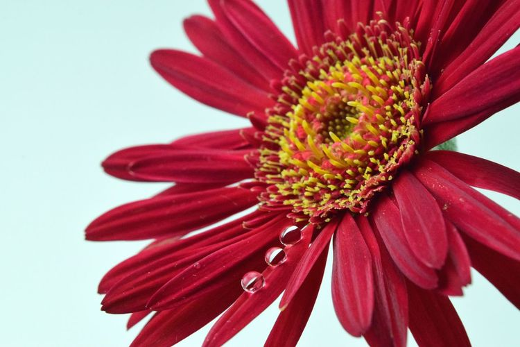 Flower Petal Fragility Nature Beauty In Nature Pollen Flower Head Close-up Red Freshness Growth No People Maroon Outdoors Day Japan Gerbera Wet DOROP White Background
