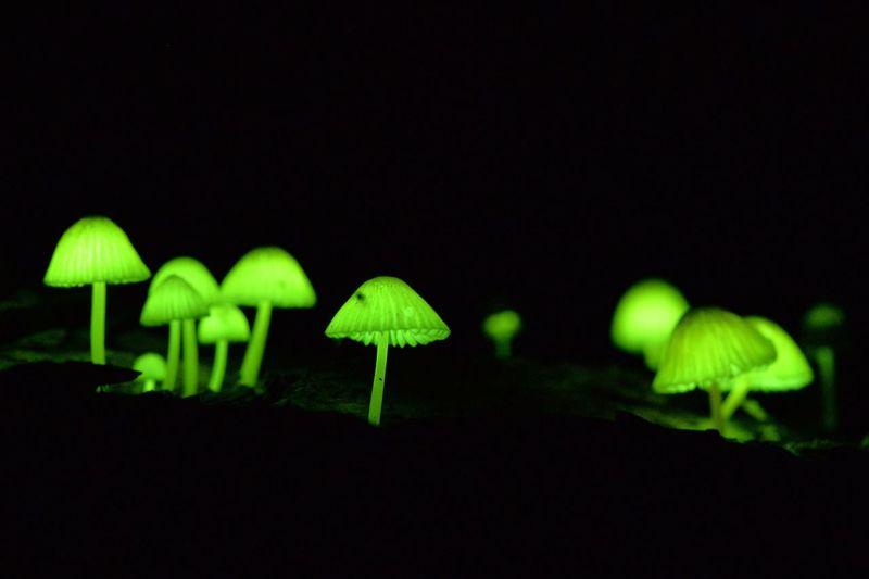 シイノトモシビタケ シイノトモシビタケ 椎の灯火茸 ひかるキノコ きのこ狩り キノコ