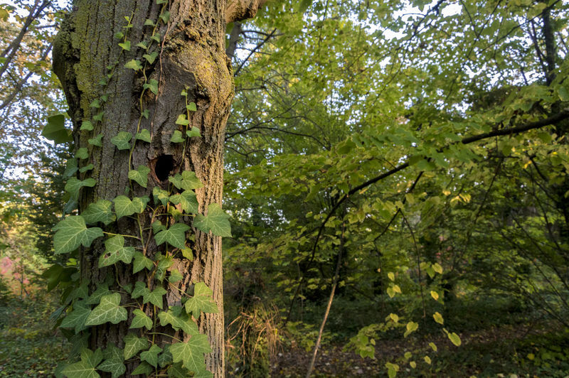 Detail of a woodpecker house, trunk full of ivy Plant Tree Tree Trunk Trunk Growth Forest Land Nature Green Color Day No People Tranquility Beauty In Nature Outdoors WoodLand Leaf Plant Part Focus On Foreground Low Angle View Foliage Bark Rainforest
