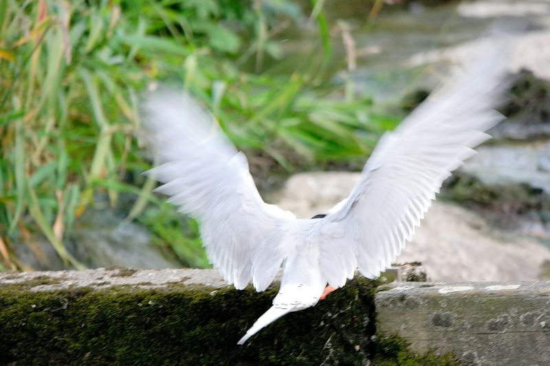 Bird Wings Going Up Nature Wings Open Wings Of Freedom Wings Spread Finland Fine Art Photography Going To Fly Away Bird Photography Terns Tern