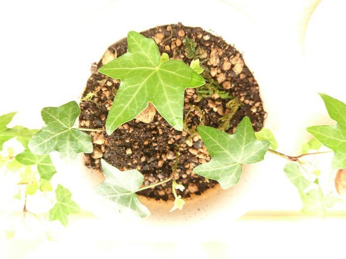 Ivy Ivy Leaves