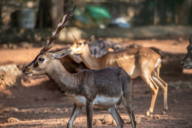 Close up shot blackbuck deer vandalur zoo in chennai tamil nadu india