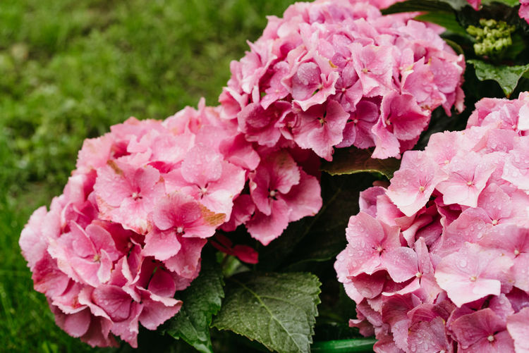 Close-up of pink hydrangea flowers