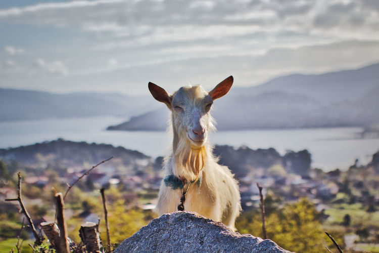 Portrait of a funny goat smiling on rock against sky
