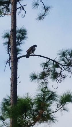 Falcon Hawk Osprey  Bird Of Prey One Animal Bird Tree Animals In The Wild Branch Animal Themes Animal Wildlife Outdoors Nature Bare Tree No People Perching Beauty In Nature Sky Day High Angle View Florida Beauty Environment Animal Families