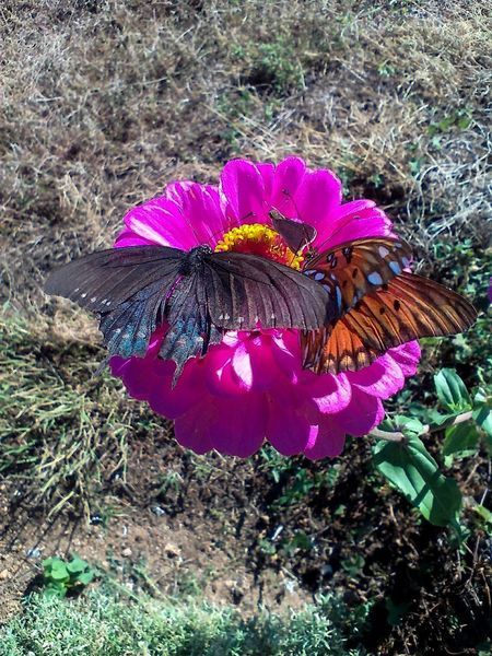Fritillary Butterfly Small Butterfly Zinnia  Beauty In Nature Beauty In Nature Black Butterfly Butterflies Butterflies And Flowers Butterfly Butterfly - Insect Butterfly Collection Butterfly On Flower Flower Flower Head Fritillary Purple Flower Swallowtail Butterfly Three Zinnia Flower Zinnia Plant Nature