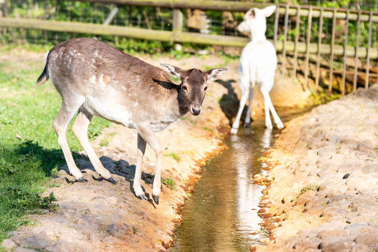 Sheep standing in a water