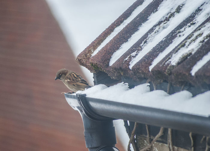 Cold winter sparrow Sparrows Winter Nature Nature_collection Nature Photography Snow Rooftop Roof Tiles Winter Bird Cold Southsea Portsmouth Hampshire, UK