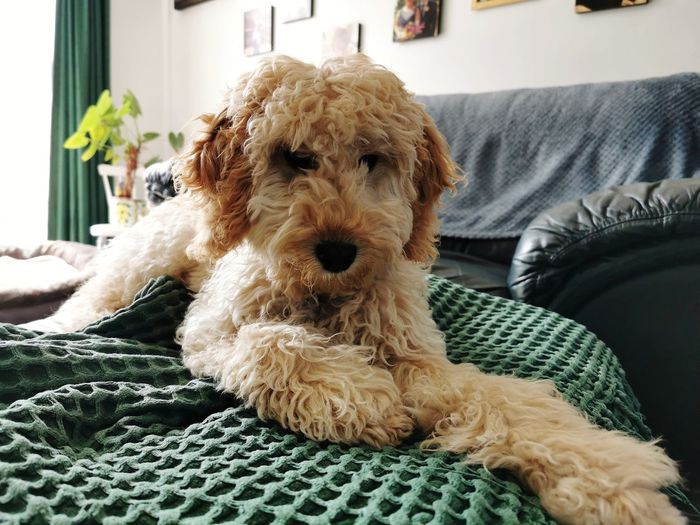 Portrait of dog sitting on sofa at home