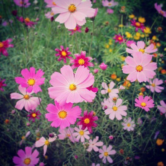 코스모스 꽃 만발 이쁘다 그립다 가을안녕 하늘공원 Cosmoses Pink Flower Fall Seoul