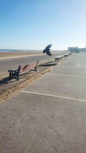 Crow Crow Bird Bench Carpark Lone Flight Cleveland Beach Sea Sand Clear Sky Desert Sand Dune Sky