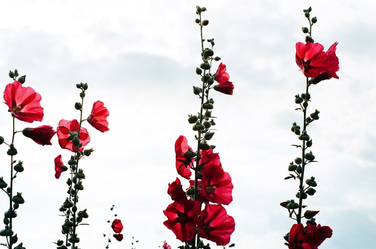 LOW ANGLE VIEW OF RED FLOWERS AGAINST SKY