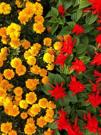 High angle view of marigold blooming outdoors