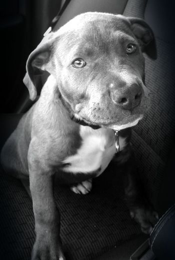My baby boy! Hanging Out Animals Pets Pitbull Puppy