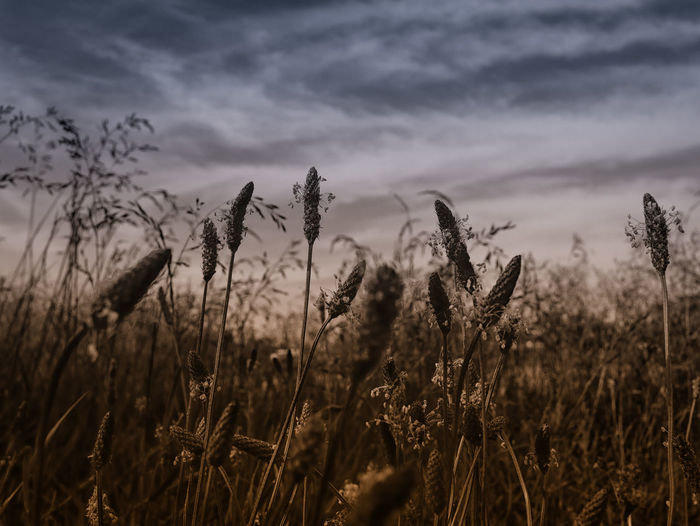 Close-up of grasses in field against cloudy sky