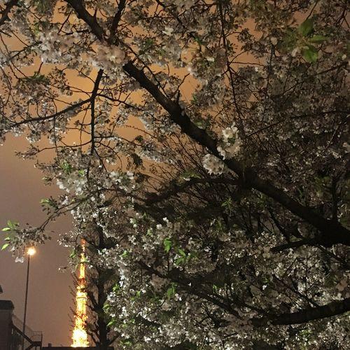Cherry Blossoms Night Museum Tokyo