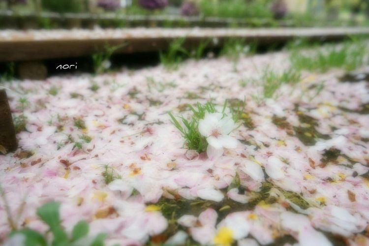 2nd stageの始まりです🌸 Cherry Blossoms EyeEm Nature Lover Spring Landscape Flower Flowers *CHIE* Kagoshima