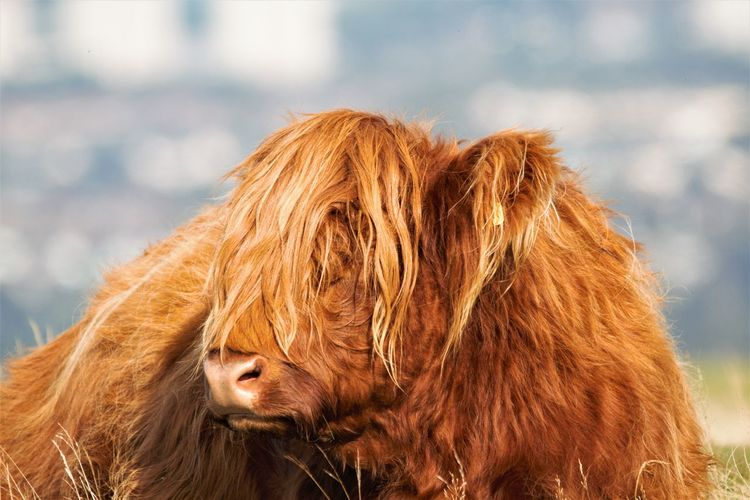 Close-up of a highland cow