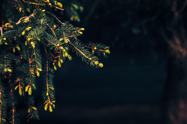 Close-up of pine tree branch at night