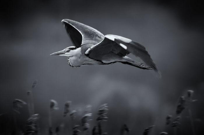 Animal Themes Animal Wildlife Animals In The Wild Bird Blackandwhite Day Dorset Flying Grace Heron Bird Nature No People One Animal Outdoors Radipole Spread Wings Weymouth Dorset