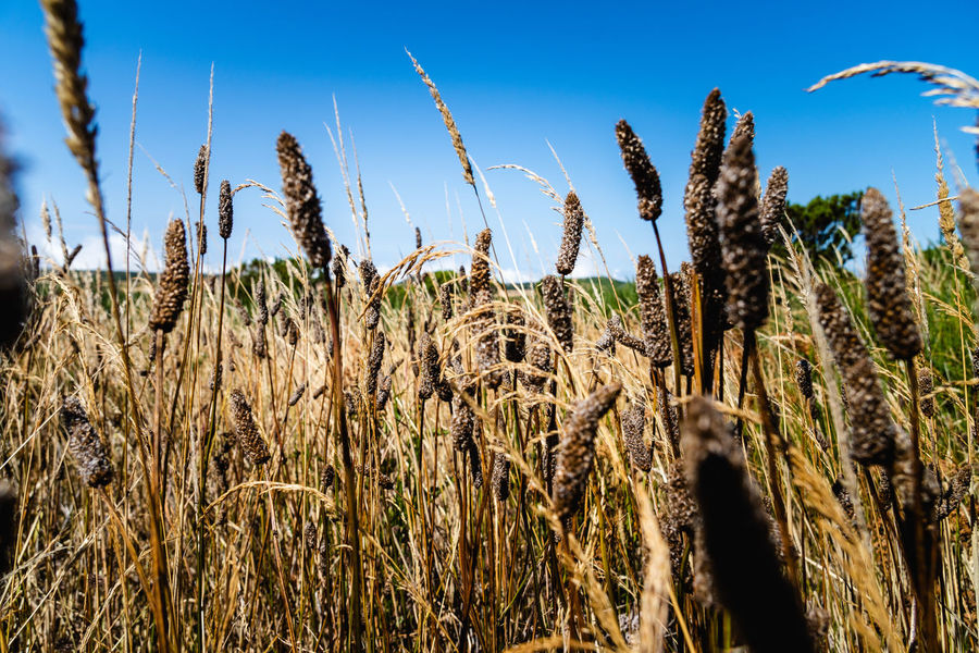 gras plant in the mountains of Madeira Island Agriculture Beauty In Nature Blue Cereal Plant Close-up Crop  Day Farm Field Growth Land Landscape Nature No People Outdoors Plant Plantation Rural Scene Sky Stalk Sunlight Tranquility Wheat