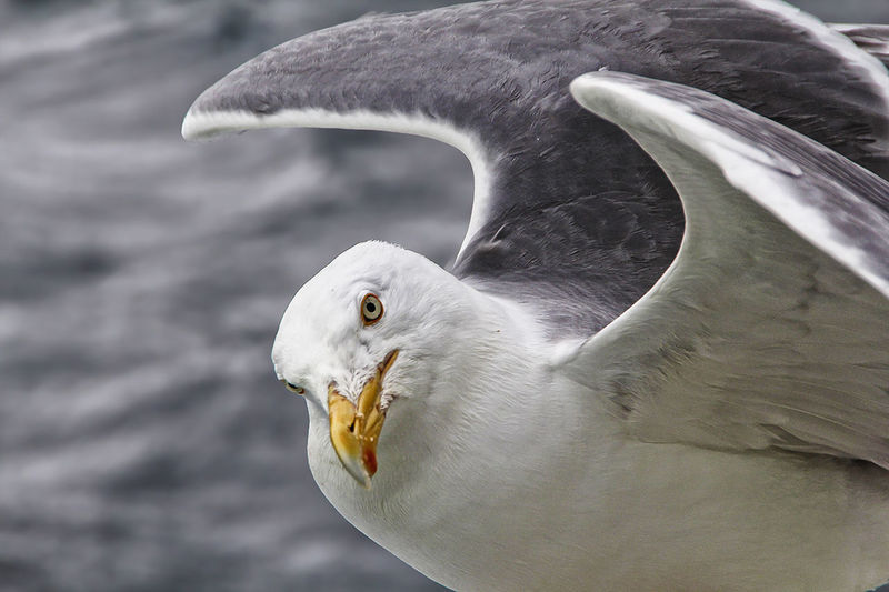 Close-Up Of Seagull With Spread Wings