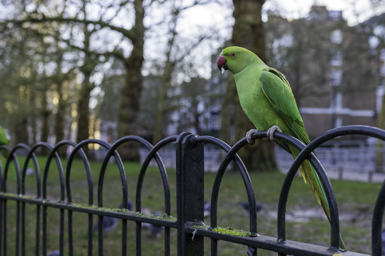 Close-up of green parrot perching on metal fence in st. james park