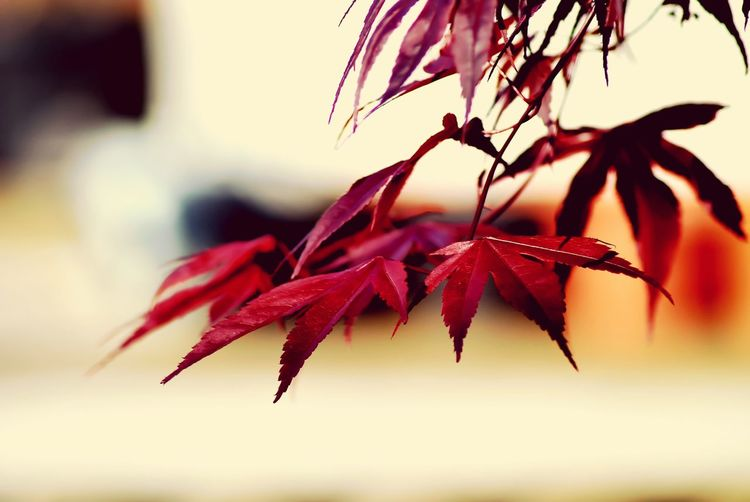Japanese Acer No People Red Plant Beauty In Nature Nature Leaves LeafOutdoors Wildlife & Nature No People Outdoors Depth Of Field Depthoffield Tree Eyemphotography Flowers,Plants & Garden Flower Photography Close-up Eyem Nature Lover Day Acer Tree Acer Acerphotography