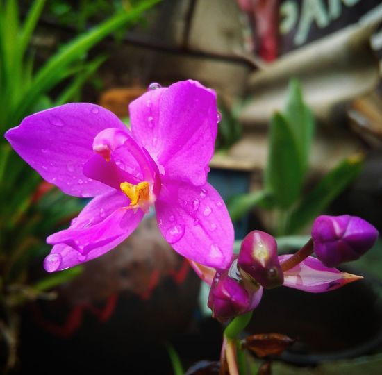 Flower Petal Pink Color Nature Fragility Flower Head Beauty In Nature Outdoors Close-up No People Plant Day Orchid Growth Freshness
