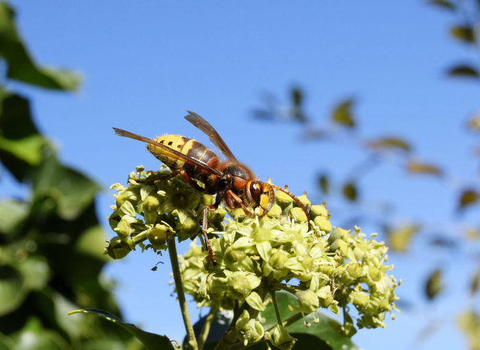 Hornet Wasp on