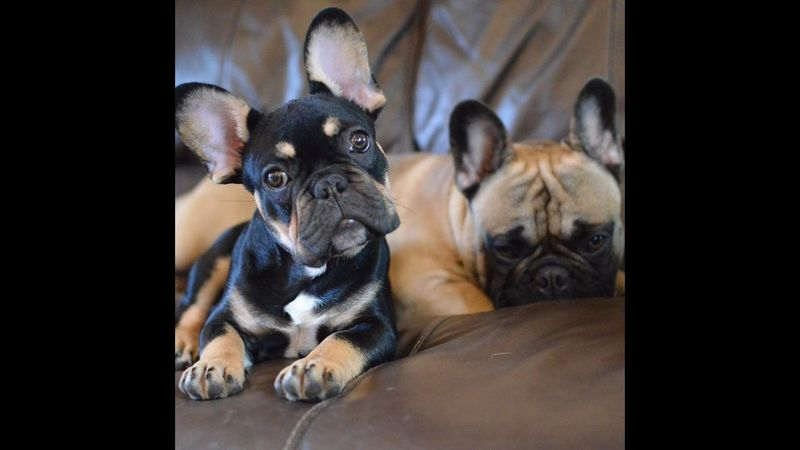 Onlyf Fools And Frenchies Black And Tan Dog Pets Domestic Animals Dog Animal Themes One Animal Indoors  Zoology Looking At Camera Mammal Relaxation Selective Focus Animal Close-up Resting Loyalty At Home Pampered Pets No People Frenchbulldog