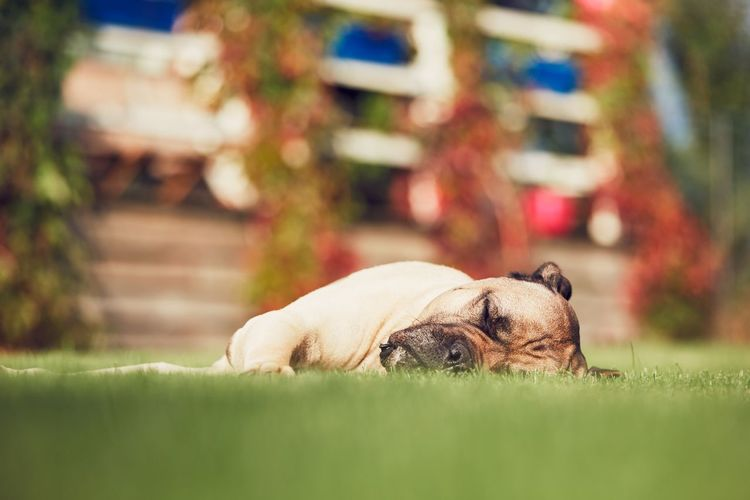 Huge dog (cane corso) sleeping in the garden of the family house. Breed Dreaming Napping Animal Themes Cane Corso Cute Dog Dogslife Domestic Animals Garden Grass House Huge Large Lazzy Lying Down One Animal Outdoors Pets Purebred Dog Relaxation Resting Sleep Sleeping Tired