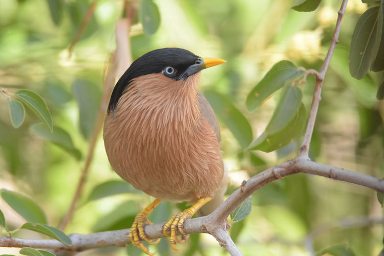 Brahminy Starling Animal Animal Themes Animal Wildlife Animals In The Wild Beauty In Nature Bird Branch Close-up Day Focus On Foreground Leaf Nature No People One Animal Outdoors Perching Plant Plant Part Starling Tree Vertebrate