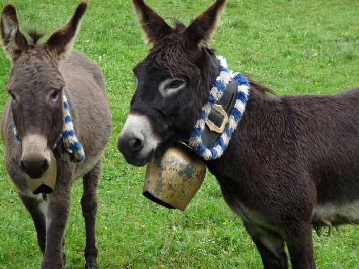 Donkeys Grass