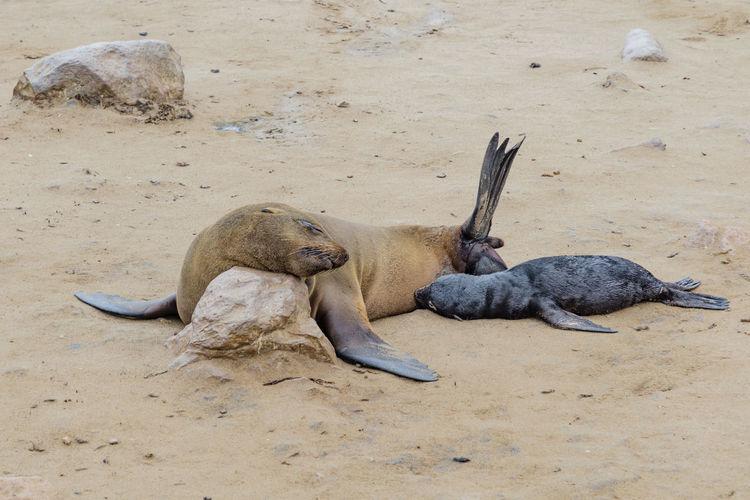 A Female Seal